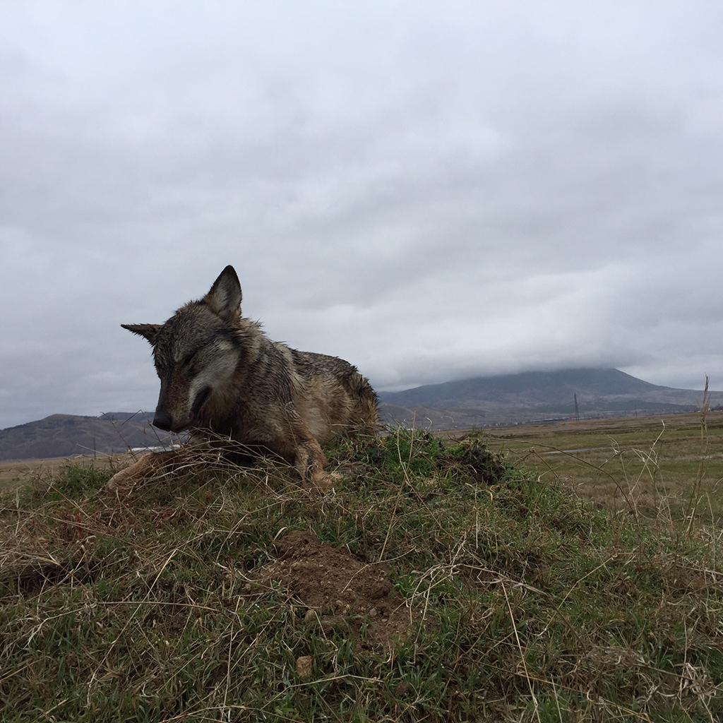 Macedonia lobo en Batida